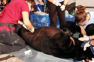 Bến Tre: Tự nguyện bàn giao con gấu rừng, nặng 1,5 tạ, nhốt 15 năm