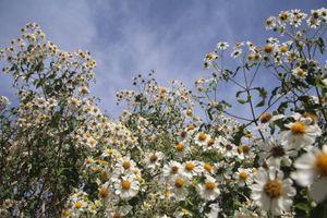 Ngẩn ngơ với vẻ đẹp tinh khôi của hoa dã quỳ trắng