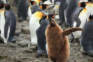 Những đặc điểm thú vị về loài chim cánh cụt vua