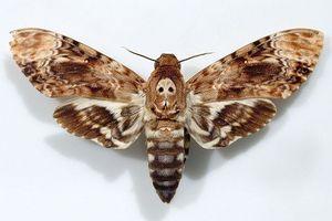 Loài bướm 'Thần chết' có khả năng 'nói'