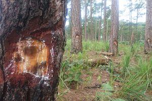 Hàng trăm cây thông bị kẻ gian khoan lỗ đổ thuốc diệt cỏ