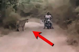Clip: 2 biker suýt chết vì rơi vào 'tầm ngắm' của hổ dữ