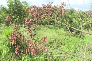 Vĩnh Long: Người dân chồng chôm chôm hoang mang vì cây chết hàng loạt do phá hoại