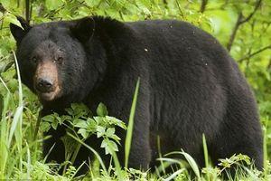 Tiếp nhận cá thể gấu để thả về tự nhiên