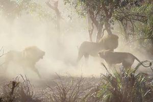Clip: Sư tử ác chiến kinh hoàng chỉ vì tranh... xác hà mã chết