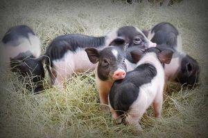 Lợn Móng Cái của NLN Quảng Ninh được vinh danh Sản phẩm Vàng chăn nuôi Việt Nam 2018