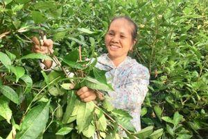 Trồng cây chát chát, bẻ cành, bán lá, U60 thu 20 triệu/tháng