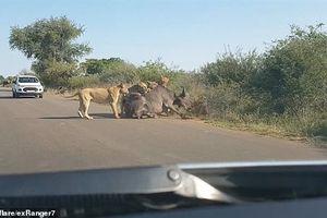 Đàn sư tử 'chén' trâu rừng giữa đường ô tô đi lại