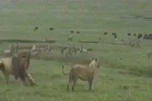 Video chó dũng cảm xua đuổi cặp sư tử đang giao phối và diễn biến kỳ lạ