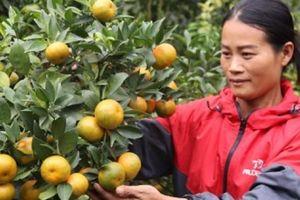 Sơn La: Để cây cam đặc sản Phù Yên trở thành nông sản mũi nhọn