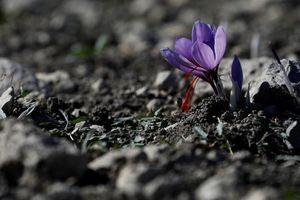 Nhụy hoa nghệ tây: 'Vàng đỏ' cho nền kinh tế Hy Lạp