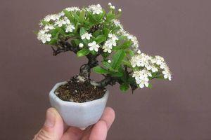 Ngắm bonsai hoa mini trang trí phòng làm việc siêu đẹp