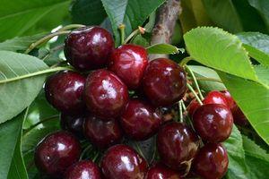 Cách trồng cherry tại nhà vừa để trang trí vừa để lấy quả