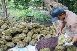 Nông dân miền Tây lo ngại tìm 'lối ra' cho sầu riêng
