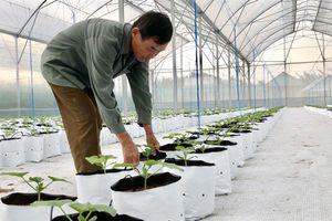 Thành quả bước đầu từ mô hình sản xuất rau, dưa lưới theo công nghệ Nhật Bản