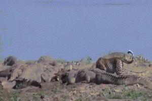 Báo đốm liều lĩnh trộm thức ăn giữa bầy cá sấu
