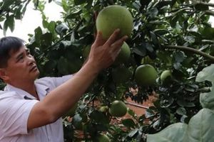 Đút túi 200 triệu đồng/năm từ trồng bưởi da xanh tiêu chuẩn VietGAP