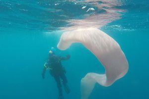 Gặp sinh vật khổng lồ 'vô hình' dưới biển New Zealand