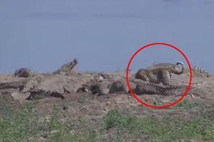 Báo đốm liều lĩnh lao vào giữa bầy cá sấu để tranh mồi