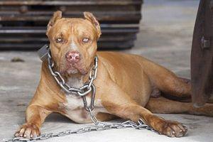 Bị chó Pitbull tấn công, làm thế nào để tránh thương tích nặng nhất?