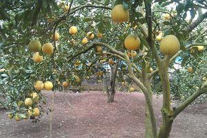 Kết nối cho những vùng trái cây của Hà Nội