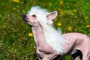 Những đặc điểm thú vị của giống chó không lông Trung Quốc