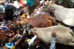 Video nghi lễ kỳ quái: Bò thỏa sức diễu hành, giẫm đạp lên người dân