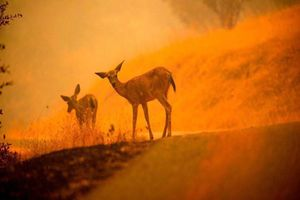 Những con vật xấu số trong vụ cháy rừng ở California