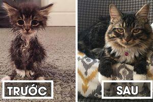Vẻ đáng yêu của chú mèo con không có khuỷu chân, sinh ra cực nhỏ yếu và tội nghiệp