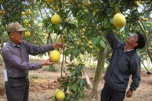 Phát triển cây ăn quả chất lượng cao: Hiệu quả chưa xứng tiềm năng