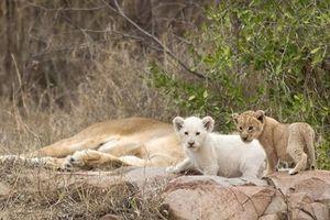Phát hiện sư tử trắng con cực quý hiếm ngoài tự nhiên