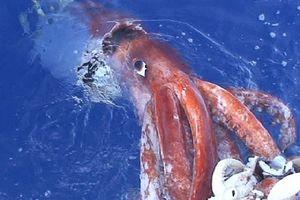 Mực khổng lồ nước sâu, hiện thân của quái thú Kraken