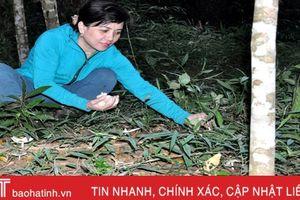 'Săn' nấm mối - đặc sản tiền triệu ở Hà Tĩnh