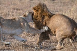 Cuộc chiến ác liệt giữa sư tử mẹ với kẻ thù ăn thịt sư tử con