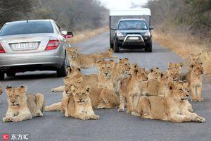 Sư tử 'bơ' con người, quyết nằm 'ăn vạ' giữa đường