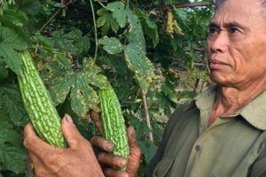 Trồng rau VietGAP ở lòng chảo Mường Thanh, 1 vụ lãi bằng 3 vụ lúa
