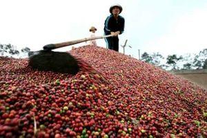 Giá cà phê hôm nay 23/11: Giao dịch ở mức thấp