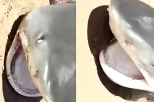 Clip cá mập lên bờ ở biển Long Hải, há miệng định táp người