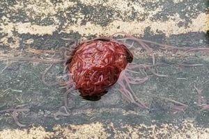 Sinh vật trông như não người khiến dân tình phát hoảng