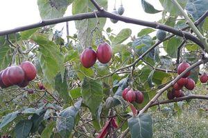 Cà chua thân gỗ: Cây lạ, mối lo quen