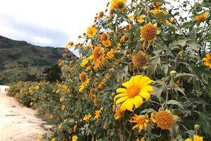 Ngắm hoa dã quỳ dưới chân núi lửa Chư Đăng Ya