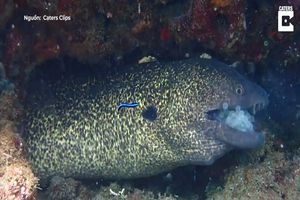 Lươn biển co giật khi nuốt phải khối trứng khổng lồ
