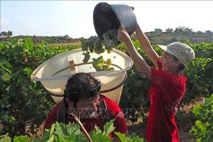 Người dân Pháp ngày càng chuộng rượu vang 'sạch'