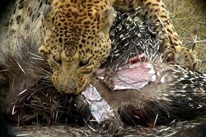Clip: Báo hoa mai trả giá đắt khi săn nhím