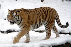 Vườn thú huấn luyện hổ trèo cây để kiếm mồi