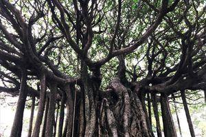 Cận cảnh 'siêu cây sanh' 5 tỉ nổi bật giữa rừng bonsai