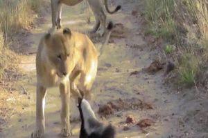 Lửng bé nhỏ đối đầu 3 sư tử và điều không ai ngờ tới