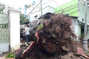 Mưa bão số 9 khiến cây xà cừ hơn 100 tuổi bật gốc ở Vũng Tàu