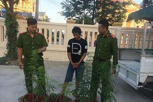 Nghiện ma túy, trồng cần sa tại nhà để lấy lá sử dụng