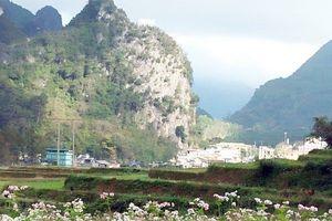 Lễ hội hoa tam giác mạch Hà Giang: Cao nguyên đá rực rỡ những mùa hoa